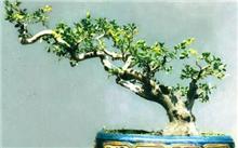 大叶黄杨盆景的制作