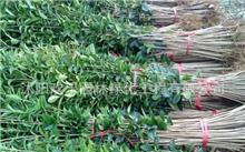 丹桂夏季嫩枝扦插育苗技术