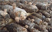 香菇所需的生活条件