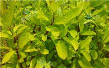 红瑞木的栽培养护