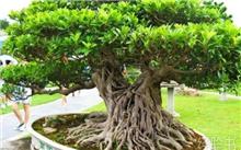 盆栽榕树怎么养