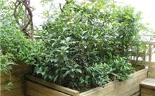 四季桂花树的栽培技术