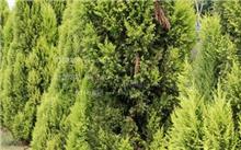侧柏育苗及造林技术