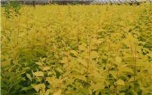 节水耐旱植物金叶榆的管理