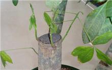 发财树如何修剪