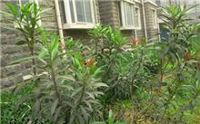 夹竹桃的繁殖技术