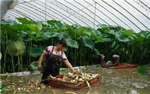 浅水藕生产技术