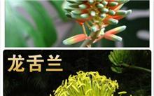 如何区别龙舌兰和芦荟茎