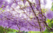 紫藤怎样繁殖