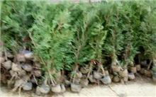 垂枝侧柏繁殖培育