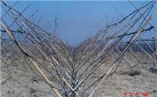 梨树冬季整形修剪技术