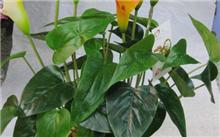 马蹄莲的盆栽与养护