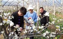 梨树冬季修剪技术要点