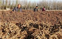 干旱半干旱地区银中杨育苗栽培技术