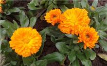 怎样使金盏菊四季有花