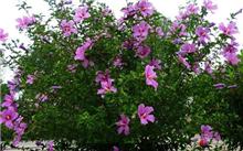 木槿(图)