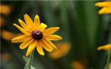 金盏菊夏季种植技术