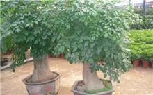 发财树栽培要点