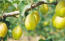 梨树夏剪产量高