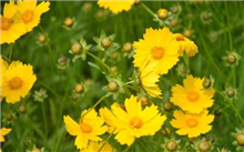 金盏菊种植技术