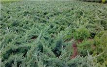 铺地柏扦插栽培技术