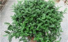 清香木种植技术