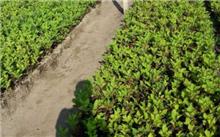 温室扦插红瑞木的栽培技术