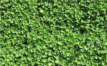 马蹄金草坪栽培管理技术