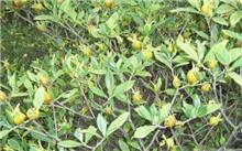 黄栀子栽植技术