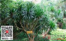 龙血树的繁殖方法
