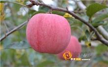 红富士苹果树修剪技术要点