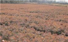 黄连木播种育苗造林技术及其综合利用