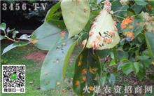 梨树缺镁的预防