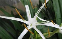 白兰花的品种