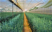 康乃馨种植栽培