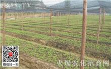 红豆杉栽培管理