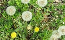 蒲公英的繁殖与栽培技术