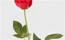 玫瑰花的综合利用及其前景
