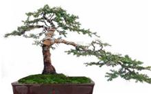 红豆杉盆景的养护要点