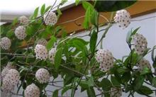 花叶球兰栽培技术