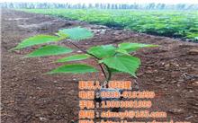 构树种植的经济效益和社会效益