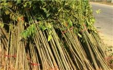 香椿采芽勤施肥