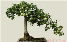 果树盆景的制作与养护