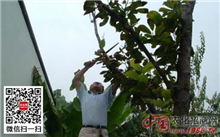 盆栽白兰 注意春季剪枝