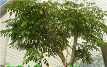 引进100多棵印度紫檀不适应广东气候将换种白兰花