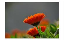 金盏菊花叶病