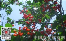 樱桃树秋季施肥要抓好