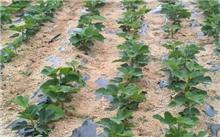 无花果怎样栽培管理?