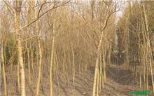 金丝垂柳种植要领(图)