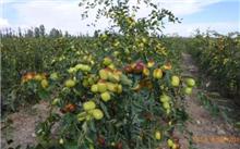 枣种植技术